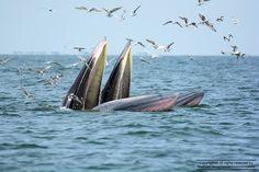 Bryde's Whale (Bang-ta-boon Bay, Thailand)