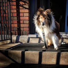 https://flic.kr/p/T6xFm8 | My 17 year old dog and his leash #olddog #sheltie #outdoor #cantrunanymore