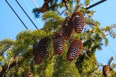 Project 365 - 069 - Pine Bombs by jguy1964.deviantart.com on @deviantART