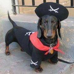 Pirate black and tan standard dachshund Chien Halloween, Mini Dachshund, Daschund, Standard Dachshund, Black Dachshund, Weenie Dogs, Doggies, Pet Costumes, Scottish Terrier