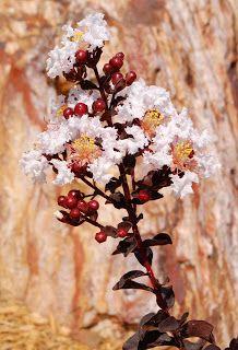 Black Diamond Crape Myrtle Cool Plant Varieties