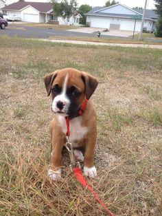 Adore boxer puppies