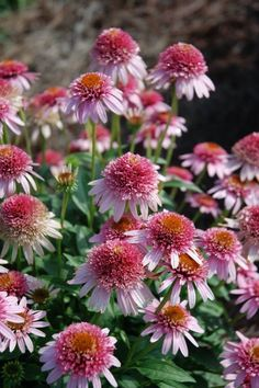 Echinacea 'Butterfly Kisses' PPAF