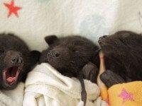 Chauves-souris orphelines, clinique Australie