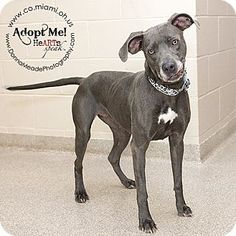 URGENT!  I am at a kill shelter in Troy, OH - Pit Bull Terrier/Weimaraner Mix. Meet Shirley, a dog for adoption. http://www.adoptapet.com/pet/11184441-troy-ohio-pit-bull-terrier-mix