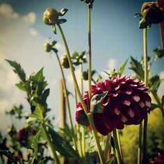 Dahlia photography print, Fine Art Photography, dahlia print 8x8, flower photography, flower photo print, botanical print, wall decor by BlossomingDream on Etsy