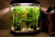 Like that betta tank! Aquarium Garden, Betta Aquarium, Fish Aquariums, Aquarium Ideas, Aquarium Design, Cool Fish Tanks, Betta Fish Care, Betta Tank, Room With Plants