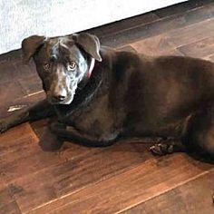 Atlanta, Georgia - Labrador Retriever. Meet SIERRA, a for adoption. https://www.adoptapet.com/pet/19851737-atlanta-georgia-labrador-retriever-mix