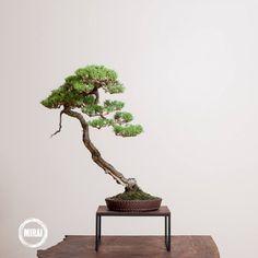 Ryan Neil bonsai trees