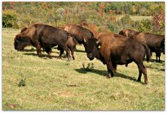 Bison grazing in Bison, Agriculture, Ontario, Cow, Friday, Backyard, Animals, Patio, Animales