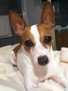Miles, the energizer bunny,  toy fox terrier