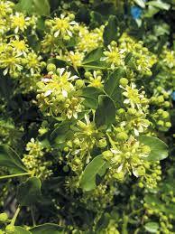 Flowers of soapbark tree (Quillaja saponaria) University Of Georgia, Horticulture, Diversity, Flora, Environment, Herbs, Earth, Plants, Feminine Hygiene