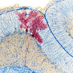 Dye-injected mouse cerebellar Purkinje cells via Micro Pictures @MicroSnaps on Twitter