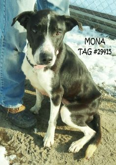 UPDATE-ADOPTED! AVAILABLE NOW! Tag# 29415 Name is Mona  Border Collie  Female-not spayed  Approx. 4 years old  Approx. 45 lbs. (very thin and needs to add weight)  https://www.facebook.com/photo.php?fbid=610074259063397&set=a.610073935730096.1073741985.267166810020812&type=3&theater