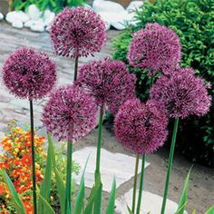 Purple Sensation Allium: This super-easy bulb is just made for dotting around the sunny annual, perennial, or shrub border, popping up on the patio, and bobbing in a sea of purple in the backyard!