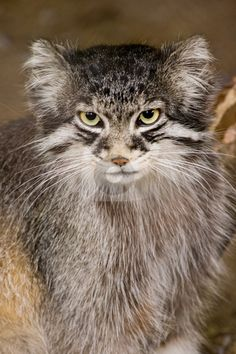 Photo of Wild Manul or Pallas cat. The Pallas cat, which lives on the grasslands and steppes of Central Asia, is listed as Near Threatened.