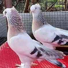 Публикация 10051960 в Instagram • 5 Мар 2019 в 2:20  UTC Cute Pigeon, Pigeon Bird, Pretty Birds, Beautiful Birds, Animals Beautiful, Animals Of The World, Animals And Pets, Strange Animals, Tumbler Pigeons