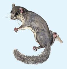 siebenschläfer zeichnungen – Google-Suche Kangaroo, Tattoos, Google, Animals, Search, Drawing S, Baby Bjorn, Tatuajes, Animales