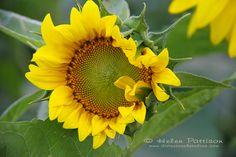 Fancy frilly sunflower