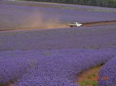 Bridestowe Lavender Farm Tasmania photo credit to Alana McDougall