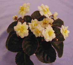 Golden Eye- Fully double white with mottling of yellow!  Dark, TL variegated foliage.  Best of the mini yellows.  Semiminiature  (Sorano)