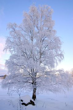 My favourite tree in winter dress.  #ice crystals, #snow landscape, #snö, #is