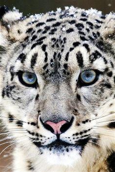 Blue eyes snow leopard face close-up iPhone 3GS wallpaper - 320x480
