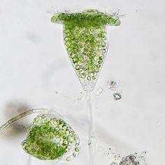 Vorticella - Droplet Photo Gallery