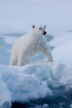 **There's a Polar Bear in our Frigidaire. He likes it cuz it's cold in there. With his seat in the meat and his face in the fish, And his big hairy paws in the buttery dish. He's slurping the soda; he's licking the ice. And he let's out a roar if you open the door. And it gives me a scare to know he's in there. The polary bear in our Fridgditydaire. [Schel Silverstein - The Giving Tree