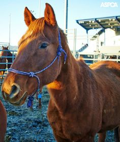 Most of the neglected horses in Spokane have recovered and now have homes! Read more in this update on the Spokane 63: www.aspca.org/blog/neglected-horses-recover-find-new-homes