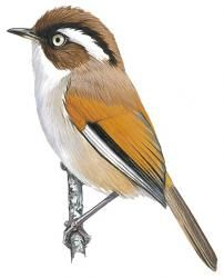 White-browed Fulvetta (Alcippe vinipectus)