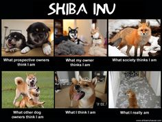 Shibas. It's the truth!!! And bad bad stubbornness!