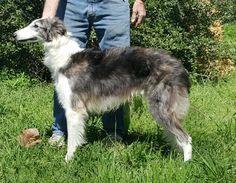 Quinni, UKC CH Empyrean Autumn Equinox Equinox, Husky, Autumn, Dogs, Animals, Animales, Fall Season, Animaux, Pet Dogs