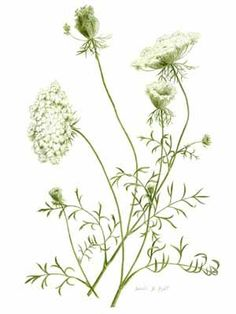 """Queen Anne's Lace Daucus carota Queen Anne's Lace, also called """"Wild Carrot,"""" is a common plant in dry fields, ditches, and open areas. Botanical Drawings, Botanical Illustration, Botanical Prints, Academic Drawing, Language Of Flowers, Queen Annes Lace, Foto Art, Pics Art, Belle Photo"""