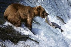 Animals wildlife : Usa alaska katmai national park brown bear catching salmon in river side view Katmai National Park, Parc National, National Parks, Bear Fishing, Fly Fishing, Salmon Run, Salmon Fishing, Alaska Travel, Bears