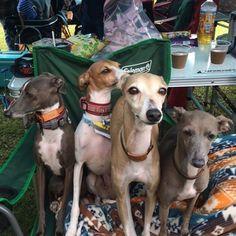 WEBSTA @ rintamaray - ルチルとファビーが遊びに来てくれました✨久しぶりだったけど、ワンコ達はクールでした🐺😅IG foursome #italiangreyhound #イタグレ #iggy #海おさ #umiosa #dogsofinstaworld #iggiesofinstagram