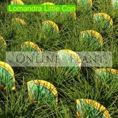Buy Lomandra 'Little Con' plants from Online Plants Melbourne. Can be used in any garden situation, the neat compact habit and bright lime color looks great in all styles as a low hedge/border Plants, Foliage, Border Plants, Drought Tolerant, Types Of Soil, Hedges, Lomandra