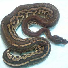 Gargoyle Amphibians, Reptiles, Serpent Snake, Ball Python, Lizards, Snails, Frogs, Noodles, Addiction