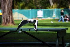#bird #flying #perth #seagull #wings #zoo