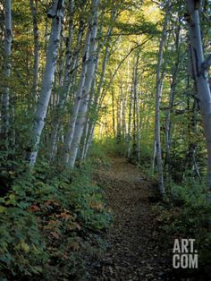 White Birch and Yellow Leaves in the White Mountains, New Hampshire, USA Photographic Print by Jerry & Marcy Monkman at Art.com