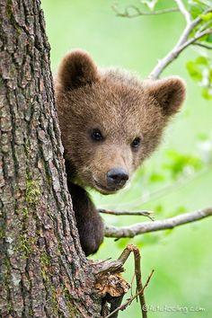 creatures-alive:  (via 500px / Brownbear cub by Chris Heinrich)