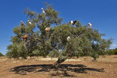Popular lore has it that goats defecate the seeds of fruits from the argan tree, but instead they must spit them out, helping to effectively disperse them