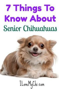 Effective Potty Training Chihuahua Consistency Is Key Ideas. Brilliant Potty Training Chihuahua Consistency Is Key Ideas. Cute Chihuahua, Chihuahua Puppies, Dogs And Puppies, Chihuahuas, Long Hair Chihuahua, Doggies, Chihuahua Facts, Training Your Dog, Dog Care