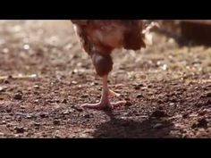 752 Rescued Hens feel Sunshine for the First Time - If you've never seen an ex-battery hen take her first steps on soil, or feel the sunshine on her face for the first time - then this might be five of the most moving minutes you'll ever see. Now they learned to live and love a life full of all the things that make it worth living. Help us create happy endings for hens everywhere by freeing them from cruelty at www.AnimalsAustralia.org/ladies.