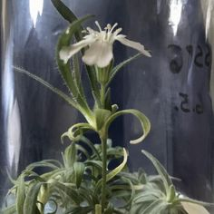 Silene stenophylla, native to Siberia, grown from a 32,000-yr.-old seed found near the banks of the Kolyma River; from Our Earth, vF 12-7-20 Make Art, Botany, Cool Kids, Seeds, Around The Worlds, Earth, History, Flowers, Plants