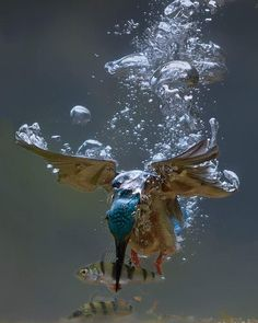 Kingfisher Catching a Fish Underwater. Photo by Chaz Doge