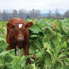 Farm: Down on the ~ Using turnips and other rootcrops for cattle grazing is an old concept that's making a comeback in rural North America. Mini Cows, Mini Farm, Raising Farm Animals, Raising Chickens, Dexter Cattle, Raising Cattle, Livestock Farming, Homestead Farm, Future Farms