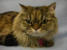 Adopt Henry @ Woodbury MN Humane Society. Persian, neutered male, 7 yrs. 10 lbs. fee 60, best in home without cats
