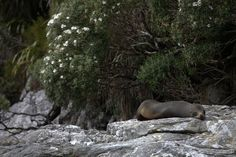 New Zealand Wildlife, Seals, Rocks, Fur, Animals, Beautiful, Animales, Animaux, Seal
