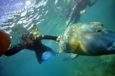 touching that fish was so nice experience! snorkeling was sooooooooooooooo good! Military Service, Tasmania, Snorkeling, Australia, Fish, Pets, Places, Animals, Diving